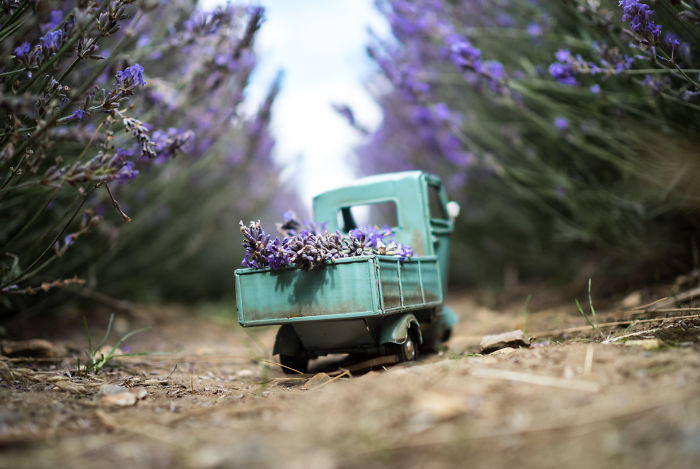 Lavender Delivery In Hitchin