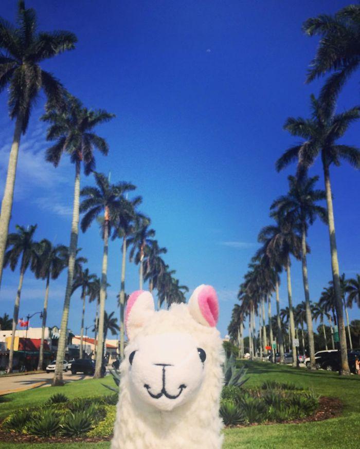 Llama In Palm Beach Island