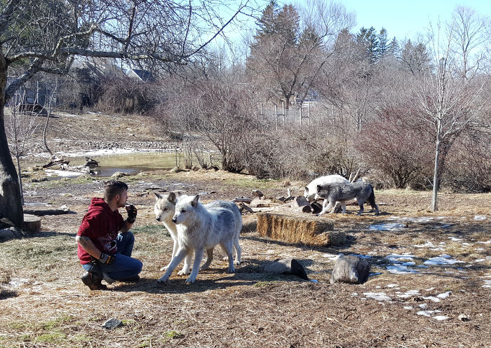 When Your Job Fulfills Your Lifelong Dream To Spend The Day With Wolves