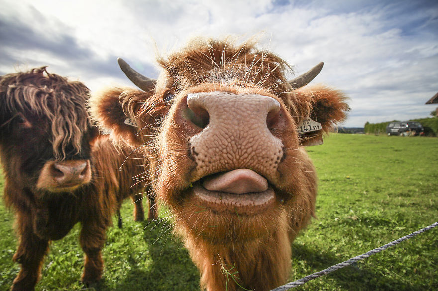 Funny highland cow