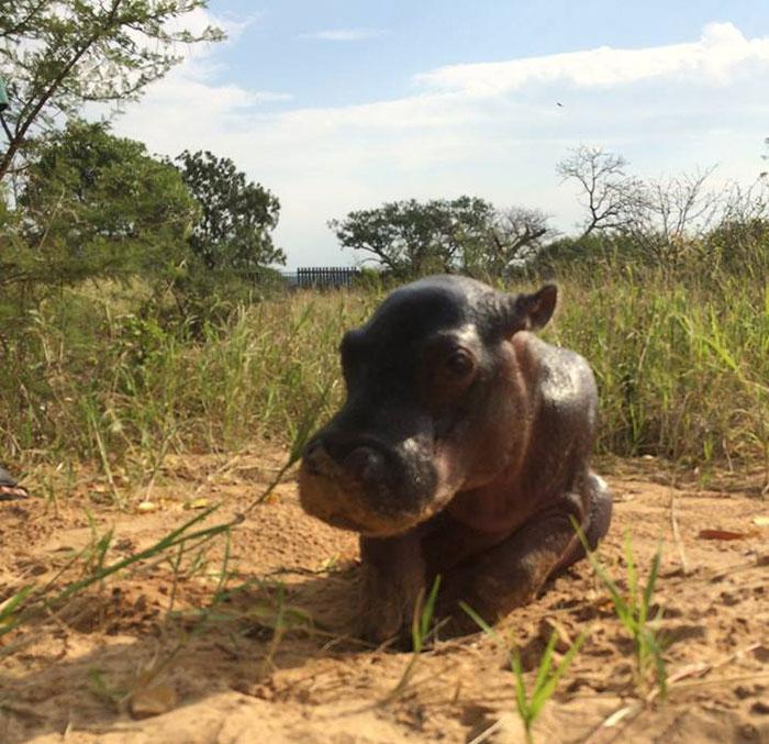 abandoned-hippo-baby-charlie-thula-rhino-orphanage-13