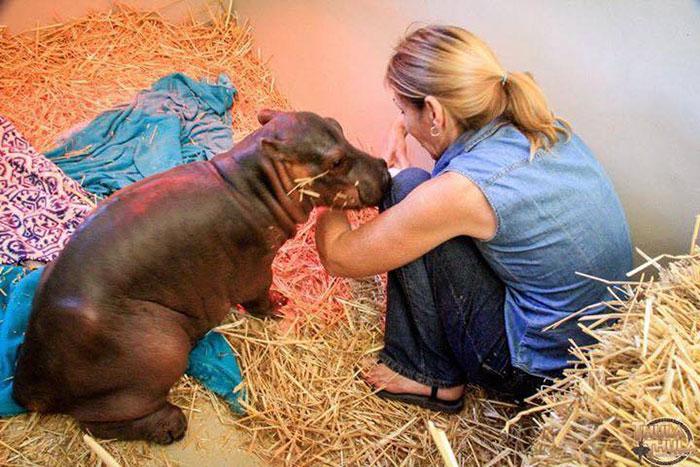 abandoned-hippo-baby-charlie-thula-rhino-orphanage-3