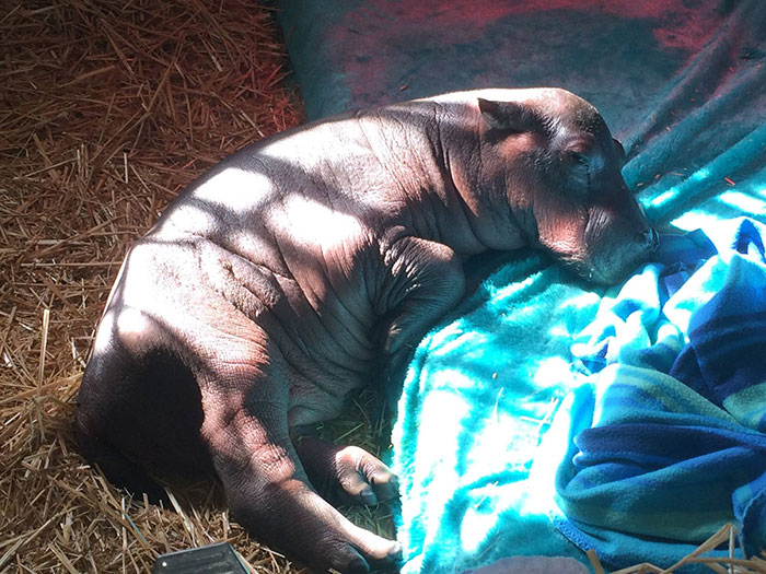 abandoned-hippo-baby-charlie-thula-rhino-orphanage-6
