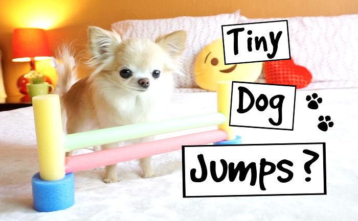My Tiny Chihuahua Jumps Happily