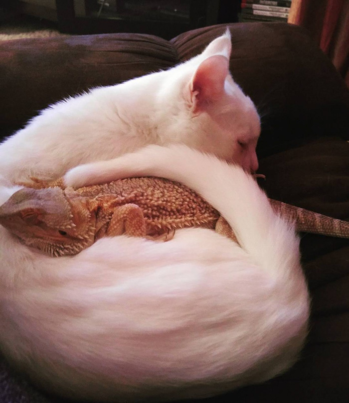bearded-dragon-cat-friendship-sleep-together-charles-baby-2