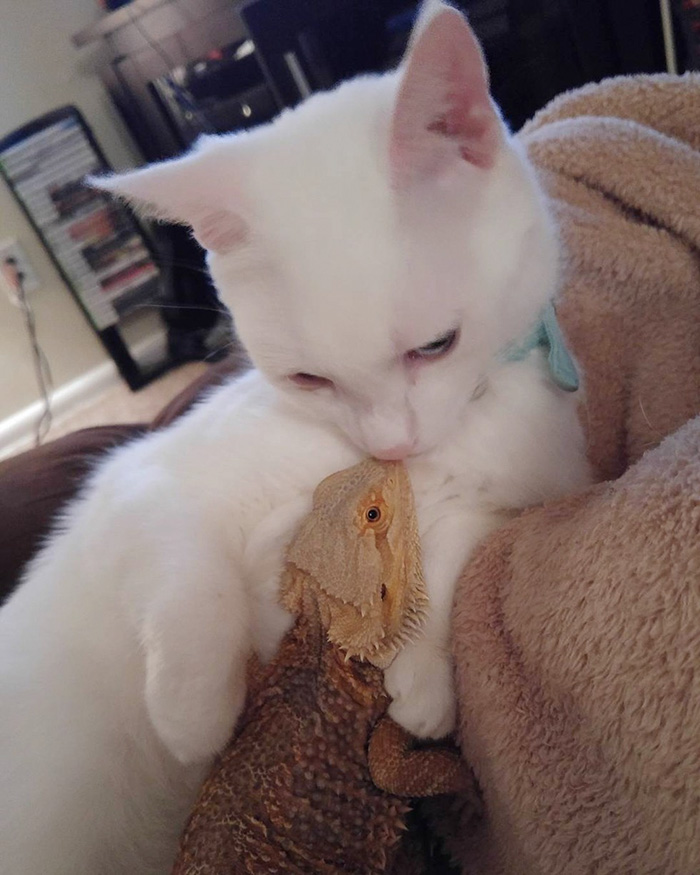 bearded-dragon-cat-friendship-sleep-together-charles-baby-31