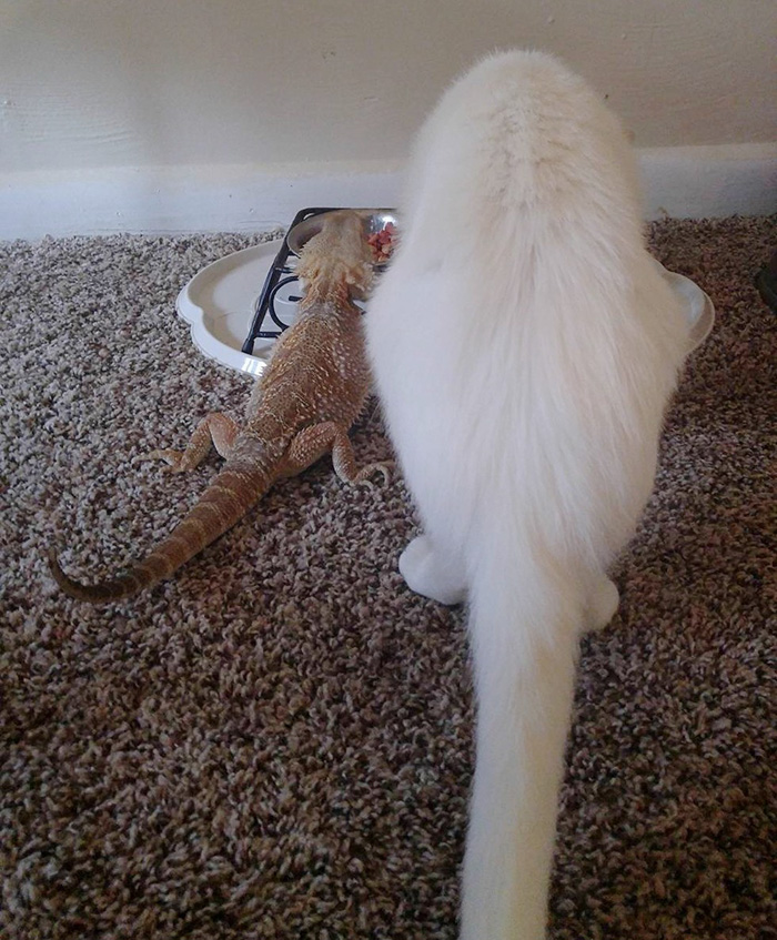 bearded-dragon-cat-friendship-sleep-together-charles-baby-32