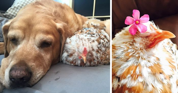 Chicken Pet Quote: Chicken Born Without Eyes Cuddles With Other Pets, Because