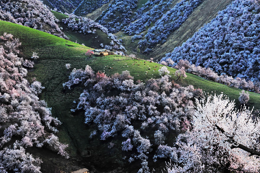blooming-apricot-valley-yili-china-17