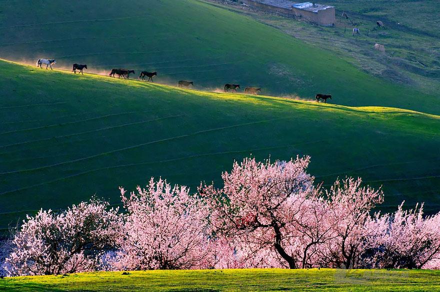 blooming-apricot-valley-yili-china-23