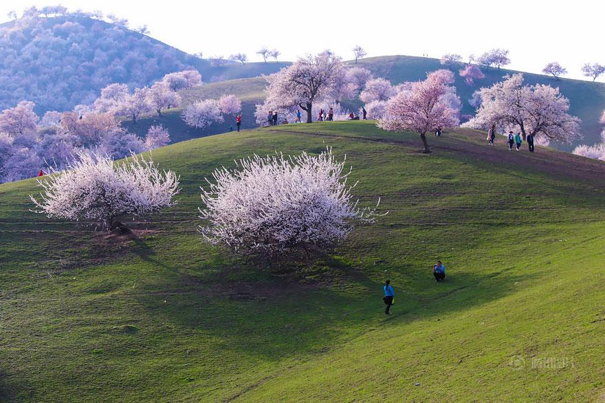blooming-apricot-valley-yili-china-4