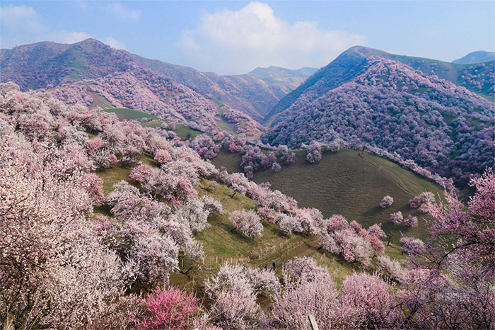 China's Apricot Blossom Will Take Your Breath Away (13 Pics)