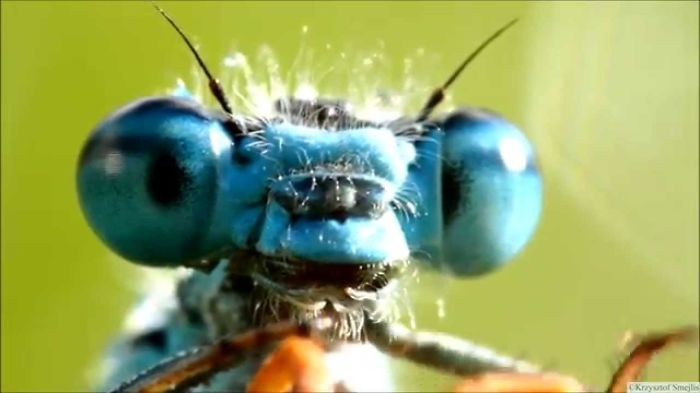 I Recorded Video With These Cute Aliens – Damselflies