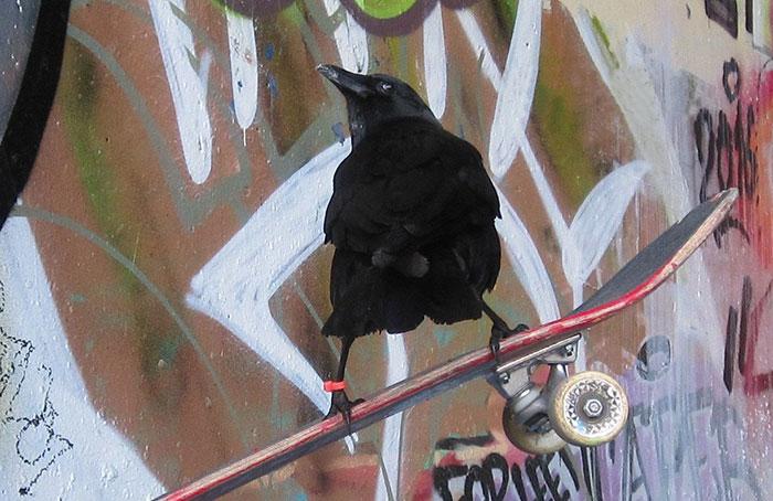 crow-befriends-man-canuck-13