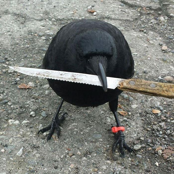 crow-befriends-man-canuck-14