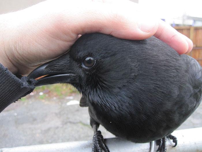 crow-befriends-man-canuck-18
