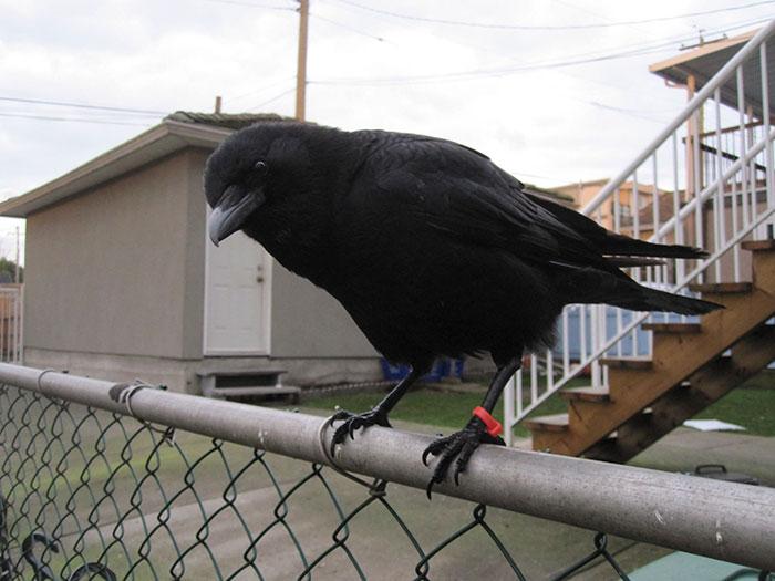 crow-befriends-man-canuck-20