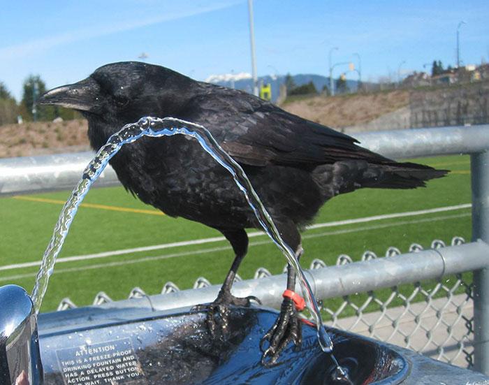 crow-befriends-man-canuck-22