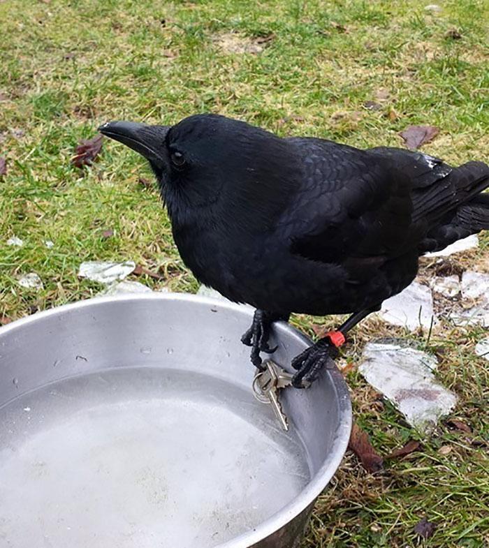crow-befriends-man-canuck-3
