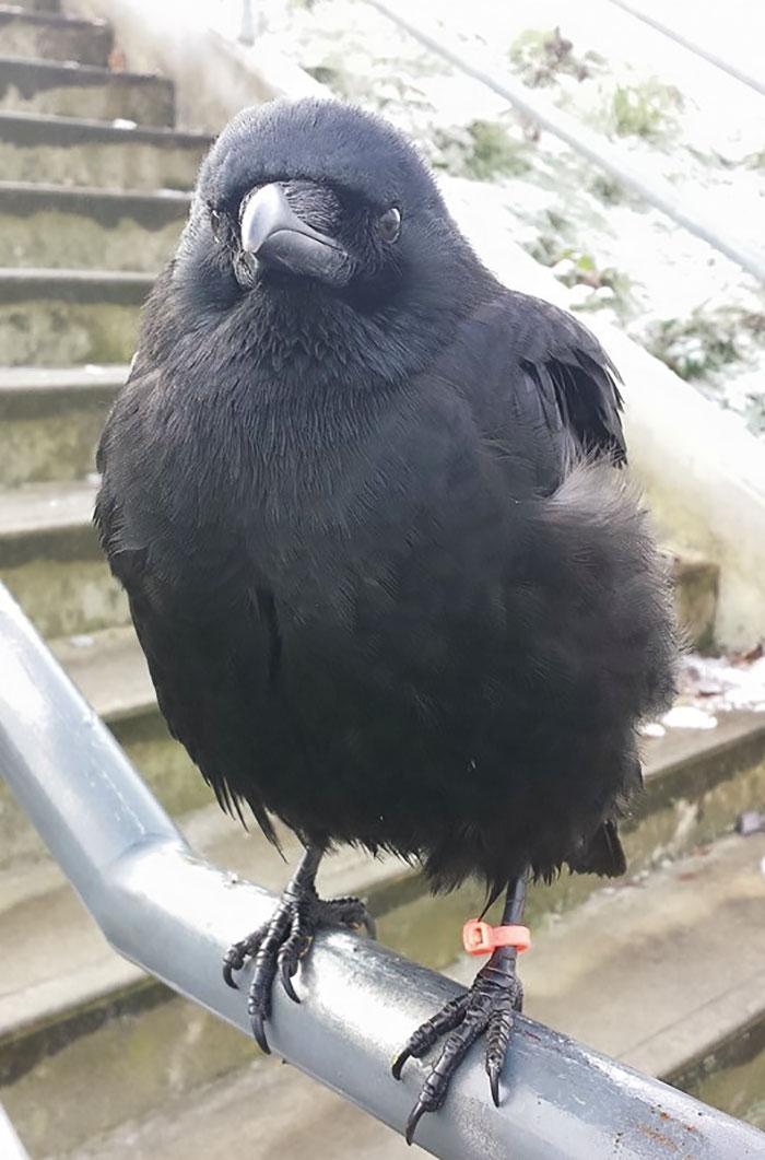 crow-befriends-man-canuck-7