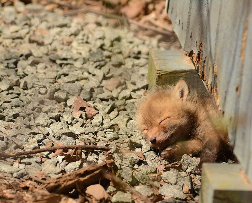 Father And Daughter Find Baby Fox In Their Backyard