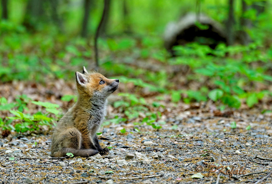 Fox Kit, Taken At The Great Swamp, New Jersey