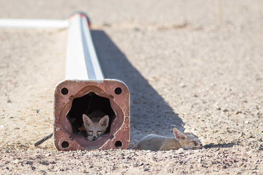 Two Kit Fox Pups Rest At A Construction Site In Nevada