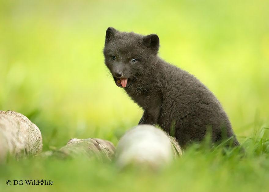 Cheeky Arctic Fox Cub