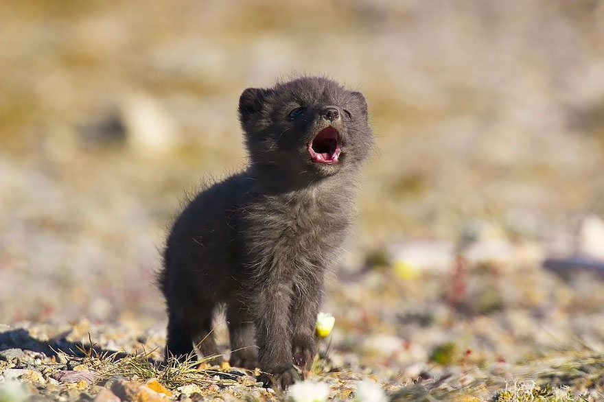 Arctix Fox Baby