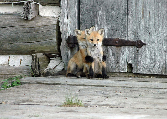 27 Baby Foxes That Are Too Cute To Be True