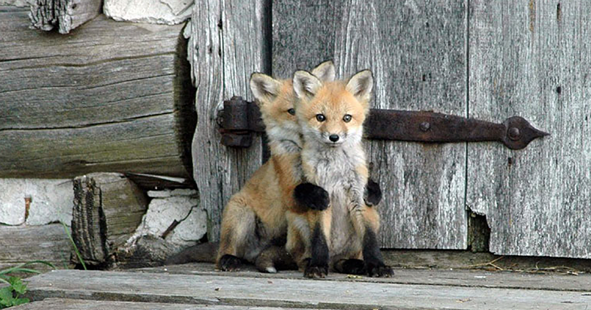 12 baby foxes that are too cute to be true bored panda
