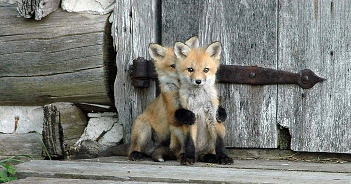 27 Baby Foxes That Are Too Cute To Be True Bored Panda