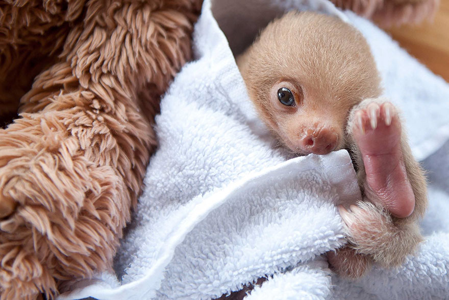 cute-baby-sloth-institute-costa-rica-sam-trull-18