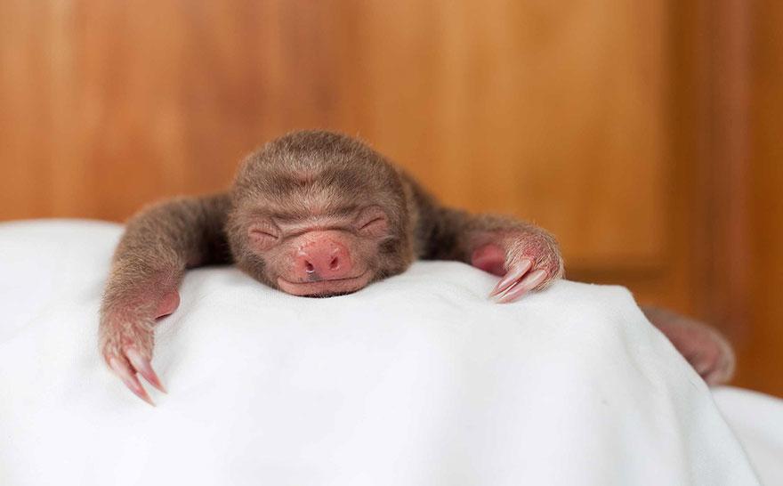cute-baby-sloth-institute-costa-rica-sam-trull-19