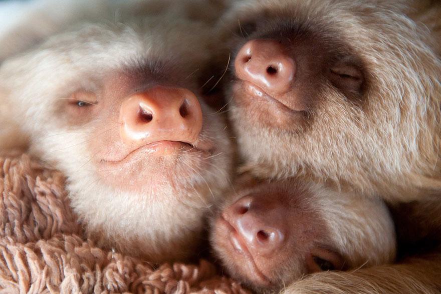 cute-baby-sloth-institute-costa-rica-sam-trull-22
