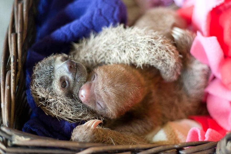 cute-baby-sloth-institute-costa-rica-sam-trull-25