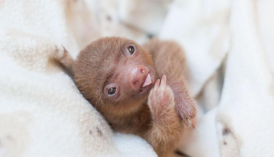 cute-baby-sloth-institute-costa-rica-sam-trull-29