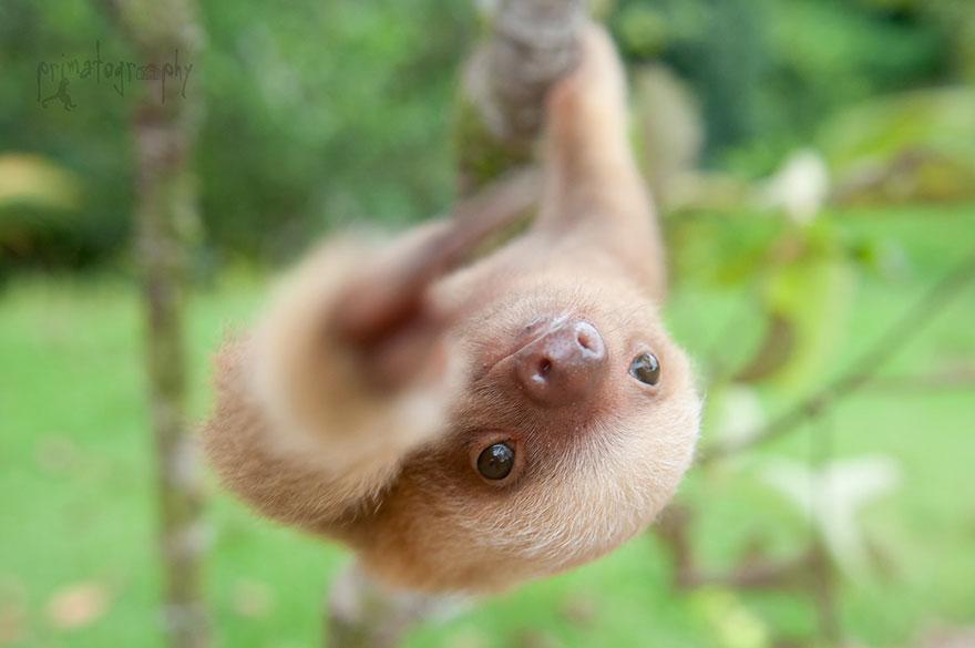 cute-baby-sloth-institute-costa-rica-sam-trull-3