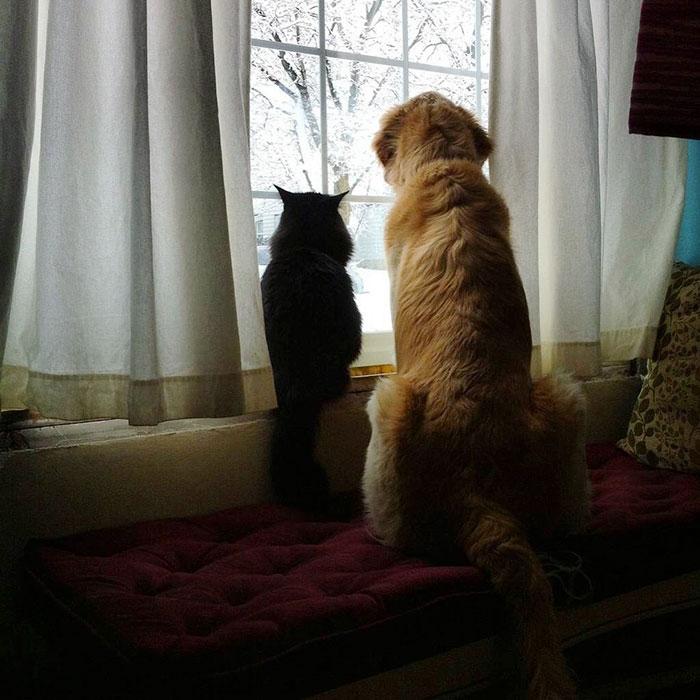 dog-cat-friends-golden-retriever-forsberg-maxwell-4