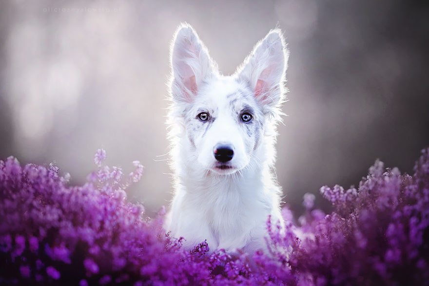 Image result for most beautiful dog in the world. White mixed breed dog in pink flowers.