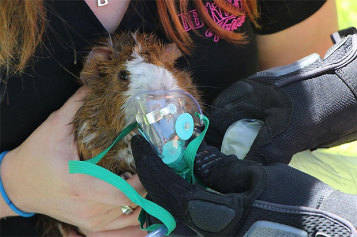 Firefighters Refuse To Let Guinea Pig Die