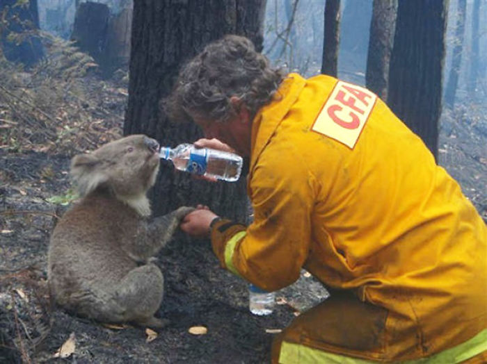 Koala Named Sam Is Given A Drink Of Water By Cfa Volunteer Fire Fighter