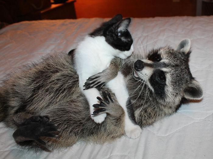 Giz (raccoon) And Grainger Bffs