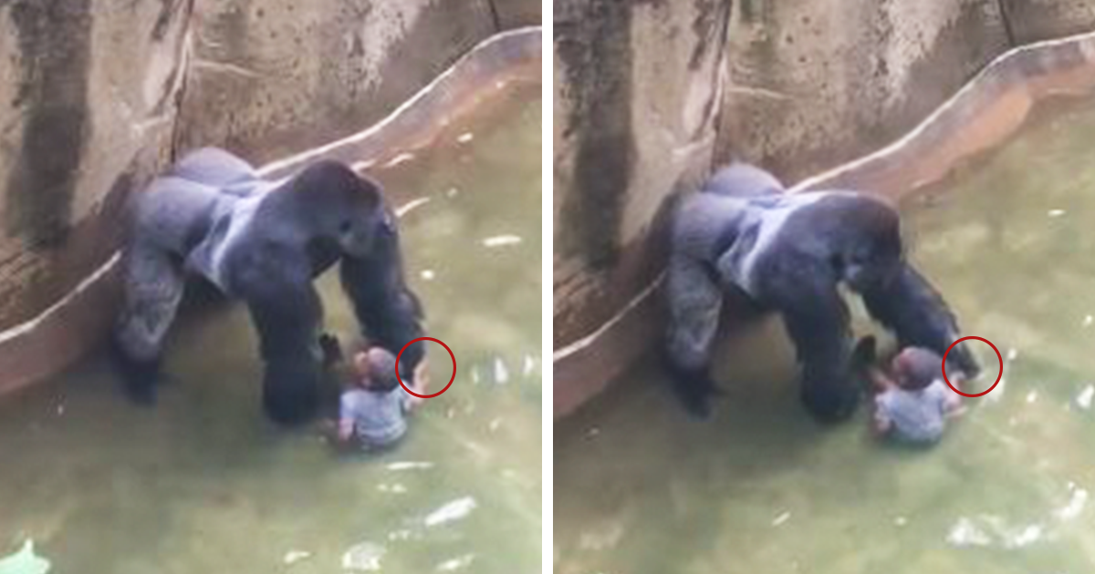 New Video Reveals Gorilla Was Holding Hands With Boy