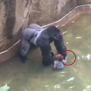 New Video Reveals Gorilla Was Holding Hands With Boy Before Being Shot