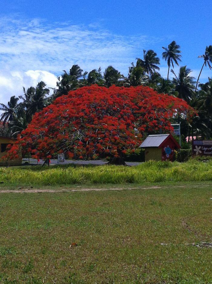 Flame Tree In Full Bloom, Rarotonga.