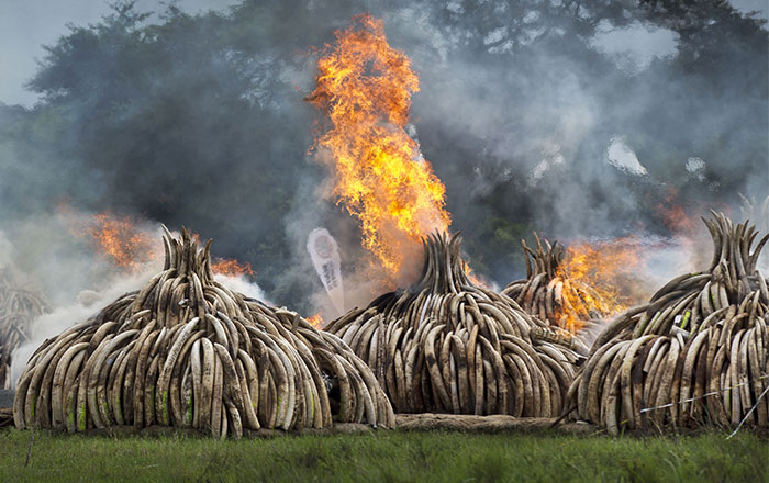 Kenya Burns $105 Million Worth Of Ivory To Send Poachers A Message