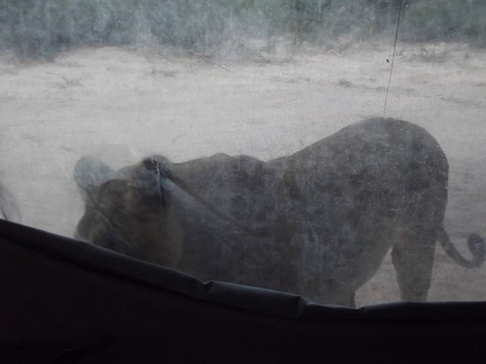 lions-lick-tent-francie-francisca-lubbe-botswana-5