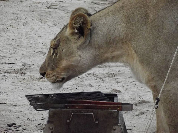 lions-lick-tent-francie-francisca-lubbe-botswana-7