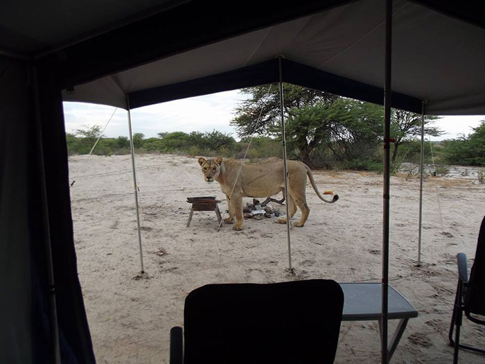 lions-lick-tent-francie-francisca-lubbe-botswana-8